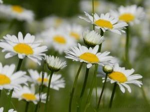 Margaridas Brancas Quebra Cabeca Geniol